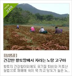황토땅에서 친환경 농법으로 재배하는 호박고구마 생산농가 참샘골